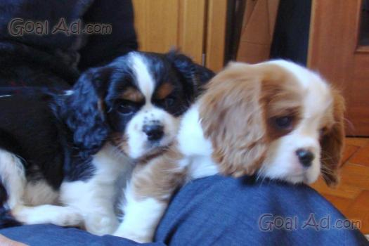 Borse di pelle scontate cuccioli di cavalier king in regalo
