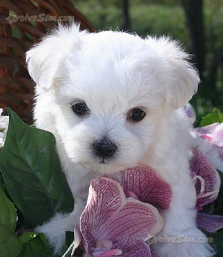 Cerco cucciolo femmina maltese possibilmente regalo for Cerco motorino usato in regalo