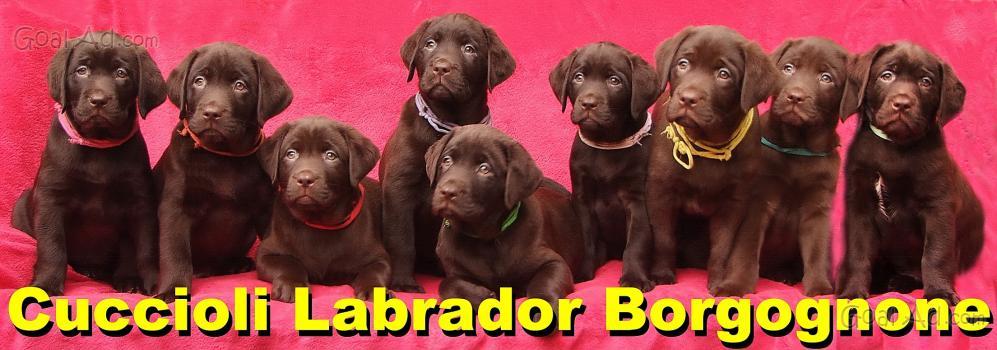 Cuccioli Labrador Neri Marroni Cioccolato Splendidi Cerca Compra