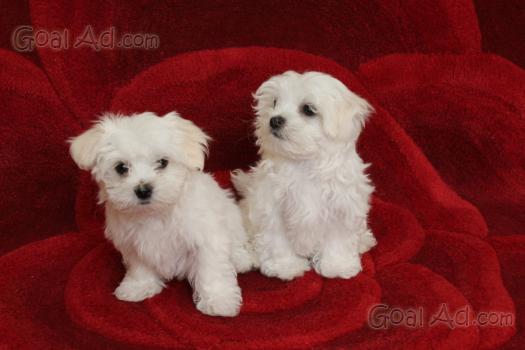 Regalo Cuccioli Maltese Mini Gratis Regalo Cerca Compra Vendi