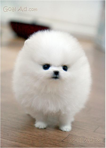 High Quality Cucciolo Di Volpino Di Pomerania Toy.