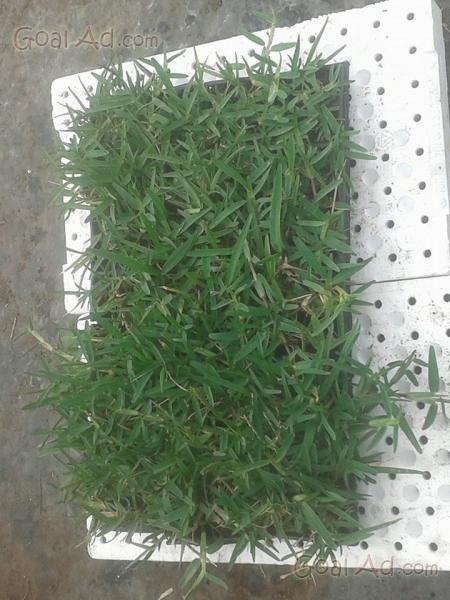Tutto gramignone prato piantine ricopri terreno cerca for Prato gramignone