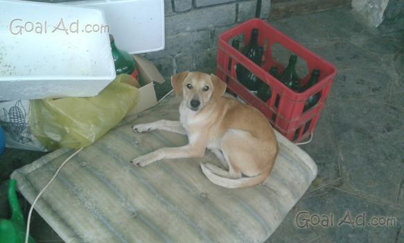 Volpino incrocio shitzu cerco cucciolo maschio cerca for Cerco motorino usato in regalo