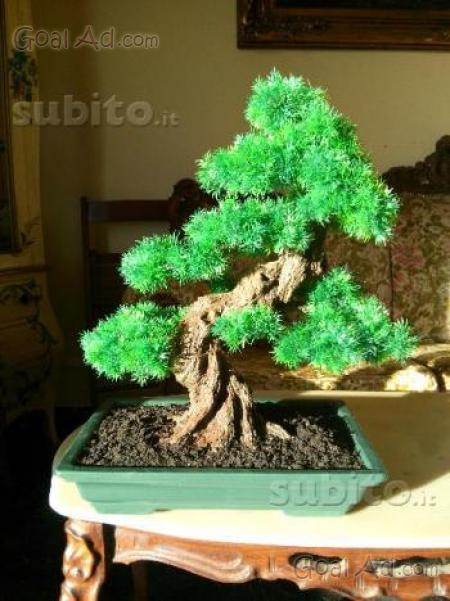 Olmo bonsai vendo molto vecchio fatto cerca compra for Bonsai vendo