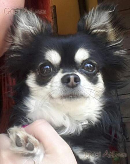 Cucciolo Chihuahua Nero Focato Pelo Lungo Cerca Compra Vendi