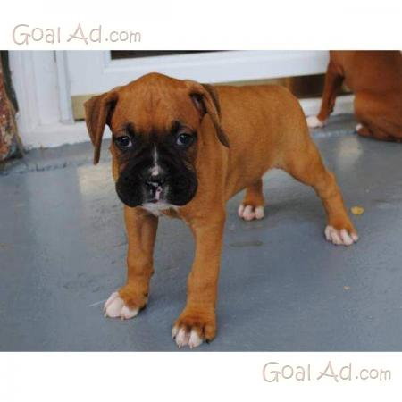 Regalo cuccioli boxer pedigree gratis cucciolo cerca for Regalo offro gratis