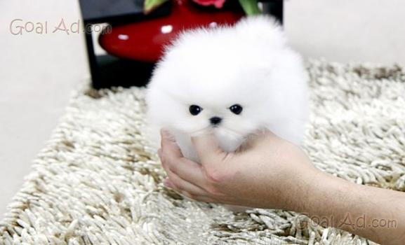 Regalo incrocio pincher volpino bellissimo cucciolo for Pincher volpino