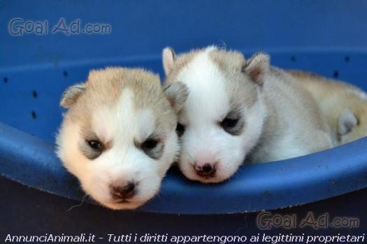 Husky Malamute Cucciolata Genitori Visibili Vaccinati Cerca