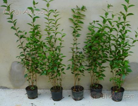 Vivai piante siepe ligustro japonicum sono cerca compra for Siepi sempreverdi alte