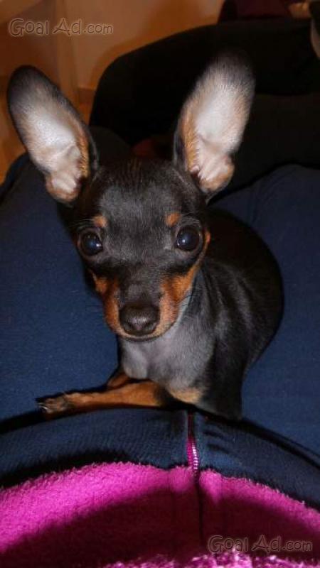 Dobermann cucciolo nero focato coda orecchie cerca for Pinscher nero