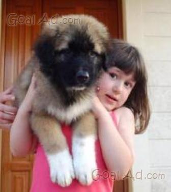 Cucciolo Regalo Pastore Caucaso Splendida Cucciola Cerca Compra