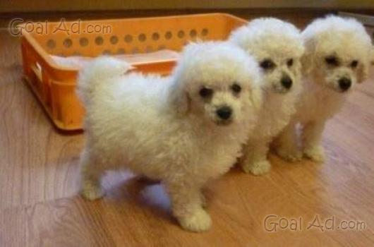 Meravigliosi cuccioli barboncino bolognese nano vendo for Barboncino nano toy