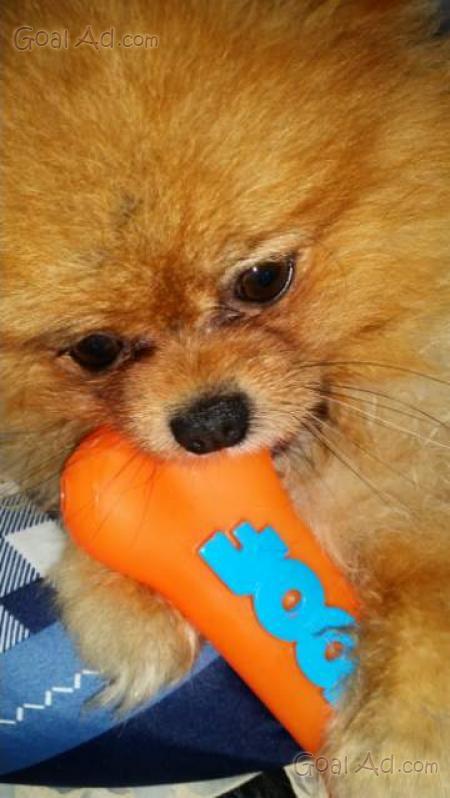 Cerco volpino spitz pomeriania regalo cucciola cerca for Cerco armadio usato in regalo