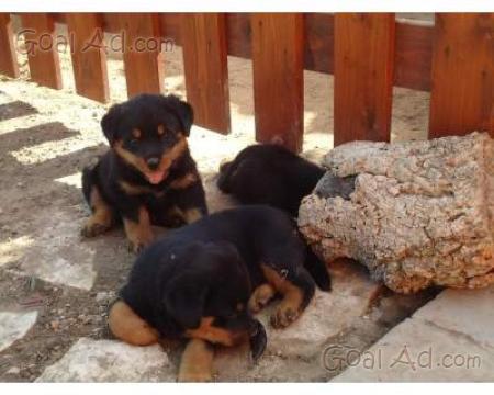 Regalo Cuccioli Rottweiler Gigante Originali Razza Cerca Compra