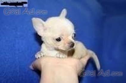 Cuccioli Chihuahua Pelo Vendo Cuccioli Chihuahua Cerca Compra