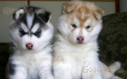Siberian Husky Cucciolo Femmina Disponibile Allevamento Cerca