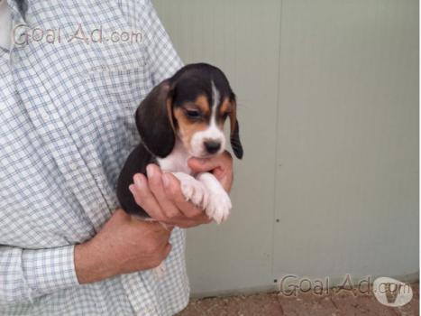 Cuccioli Beagle Vendo Cuccioli Beagle Parte Cerca Compra Vendi