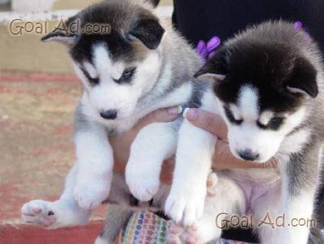 Cuccioli Siberian Husky Vendo Senza Pedigree Cerca Compra Vendi