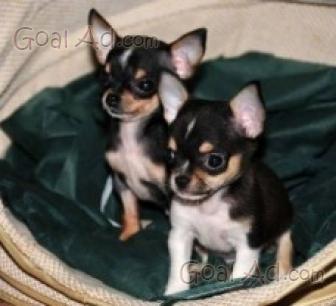 Incrocio Chihuahua Barboncino Vendo Cucciolo Maschio Cerca Compra