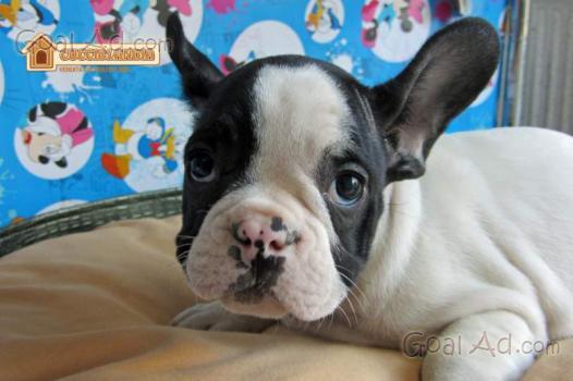 Bulldog inglese maschio tigrato bellissimo cucciolo for Bellissimo in inglese