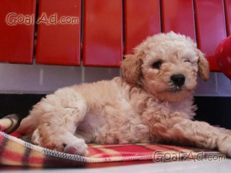 Adozione cucciolo incrocio maltese barboncino vorrei for Barboncino nano toy