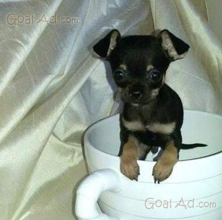 Bellissimo Chihuahua Nero Focato Bellissimo Chihuahua Cerca