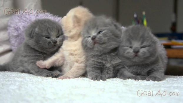 Gattini British Shorthair Disponibili Cuccioli Gatto Cerca Compra