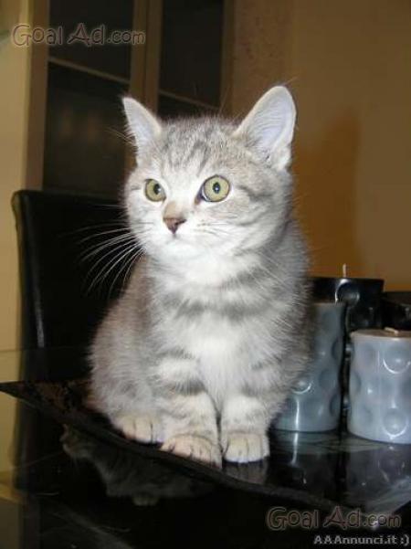 Cerco gattini british shorthair gattino regalo cerca for Cerco armadio usato in regalo