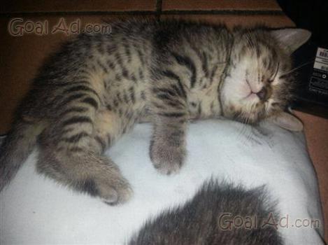 Gatto British Shorthair Dolcissimo Cucciolo Silver Cerca Compra