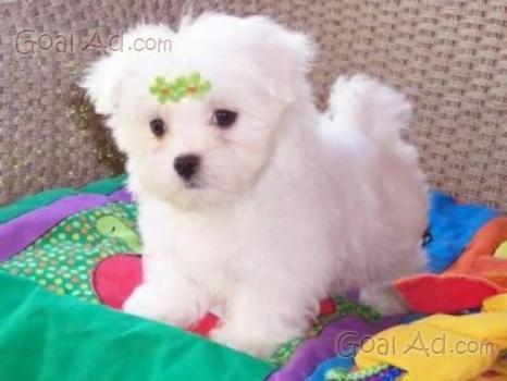 Cerco cucciola regalo cane possibilmente white cerca for Cerco motorino usato in regalo