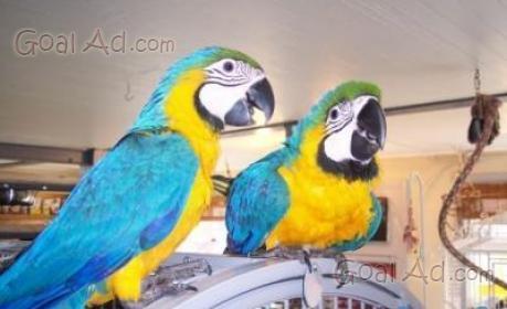 Cerco regalo pappagallo pappagalli donare famiglia cerca for Usato in regalo