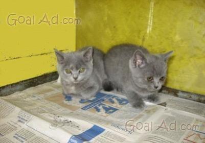 Gattini grigio cenere incrocio certosino gattini cerca for Cerco motorino usato in regalo