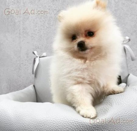 Cucciolo volpino vendesi spitz nano mesi cerca compra for Spitz tedesco nano