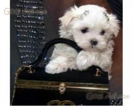 Cerco mini maltese barboncino cuccioli regalo cerca for Usato in regalo