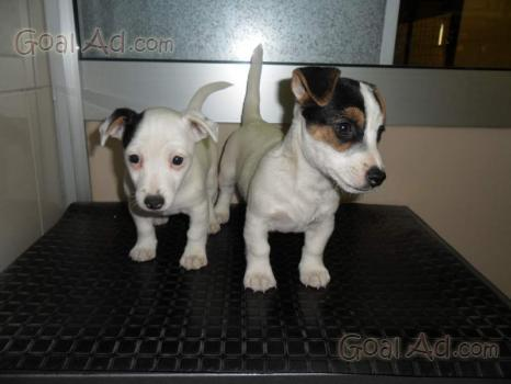 Eccezionale Piccoli cuccioli incrocio jack russel chihuahua - Cerca, compra  LD75