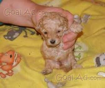 Incrocio barboncino cucciolo dolcissimo maschietto nato - Barboncino piccolo ...