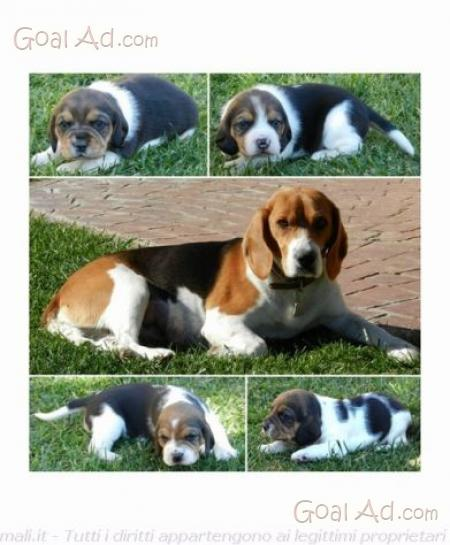 Cuccioli Beagle Elisabeth Vendo Splendidi Razza Cerca Compra