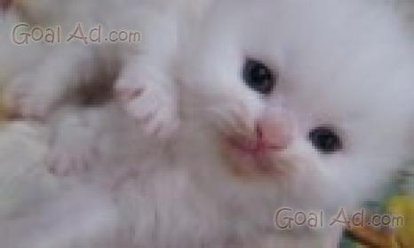 Cuccioli Gatto Persiano Gattini Persiani Puri Cerca Compra Vendi