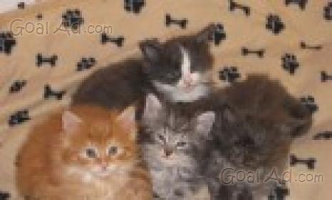 Gattini siberiani disponibili bellissimi ipoallergenici for Regalasi cucina
