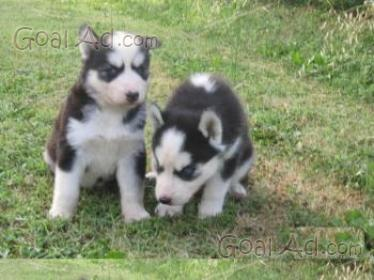 Cuccioli Siberian Husky Disponibile Cucciolo Nato Cerca Compra