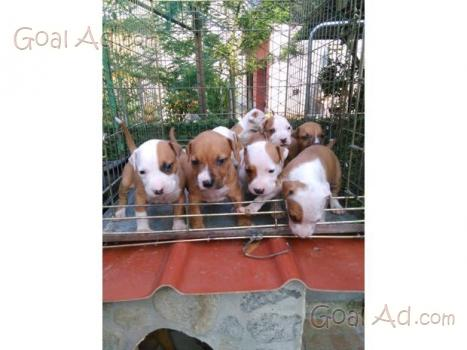 Regalo Bellissimi Cuccioli American Pitbull Mastiff Cerca Compra