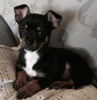 Pincher Cucciolo Pincher Incrocio Chihuahua Mesi Cerca Compra