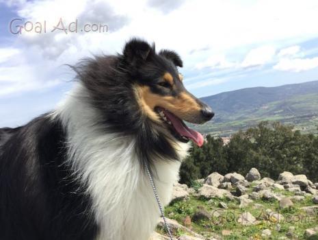 Cucciolo lassie regalo collie pastore scozzese cerca for Cerco arredamento usato in regalo