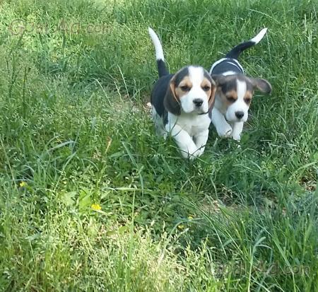 Cuccioli Beatles Beagle Zampa Corta Vaccinati Cerca Compra Vendi