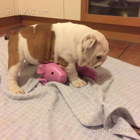 Bulldog Inglese Bellissimi Cuccioli Allevamento Ungherese Cerca